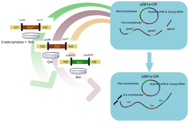 Extension of Genetic Marker List Using Unnatural Amino Acid System: An Efficient Genomic Modification Strategy in Escherichia coli.